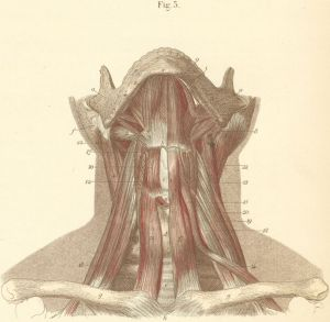 Muscles of Neck